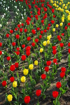 Colorful Tulip Stock Image