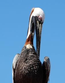 Free Portrait Of A Pelican Royalty Free Stock Photo - 4887155
