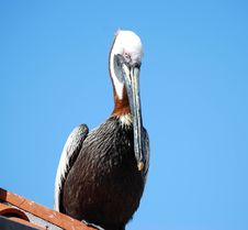 Free Portrait Of A Pelican Stock Image - 4887171