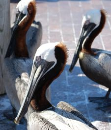 Pelicans Looking For A Meal Royalty Free Stock Photo