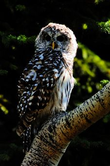 Free Barred Owl Royalty Free Stock Images - 4889339