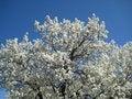 Free Cherry Blossom Royalty Free Stock Image - 48801556