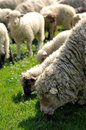 Free Sheep Grazing Stock Images - 4890174