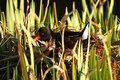 Free Moorhen On The Nest Stock Image - 4891241