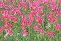 Free Spring Tulips Royalty Free Stock Photo - 4895995
