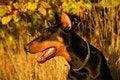 Free Portrait Of Doberman Royalty Free Stock Photos - 4899008