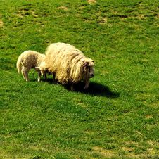Free Sheep And Lamb Stock Image - 4890041