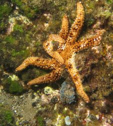 Free Starfish Royalty Free Stock Photos - 4890178