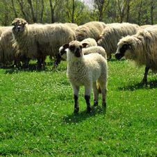 Free Sheep Grazing Stock Photos - 4890193