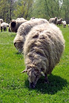 Free Sheep Grazing Stock Photography - 4890262