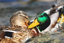 Free A Ducks Couple Royalty Free Stock Photography - 4890407