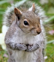 Free Squirrel Royalty Free Stock Images - 4890729