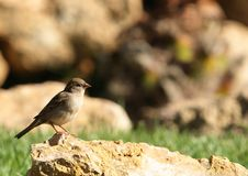Free Sparrow Stock Photos - 4890883