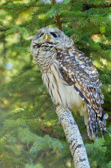 Free Barred Owl Royalty Free Stock Image - 4890926