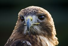 Free Red Tailed Hawk Royalty Free Stock Image - 4891076