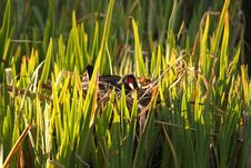 Free Moorhen On The Nest Stock Photography - 4891152