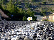 Free Daisy On Road Stock Photography - 4891252