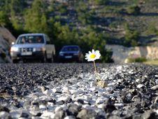 Free Daisy On Road Stock Image - 4891401
