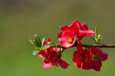Free Quince Blossoms Stock Images - 4891474