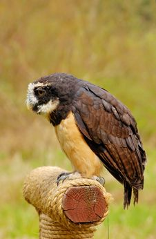 Free Spectacled Owl Stock Photography - 4892072