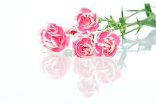 Free Pink Carnation Royalty Free Stock Images - 4893309