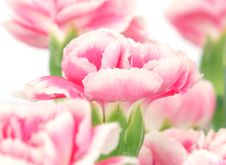 Free Beautiful Pink Carnation Stock Photography - 4893382