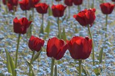 Free Red Tulips Stock Images - 4893474
