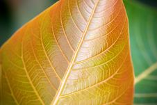 Free Veins Of Leaf Royalty Free Stock Photos - 4894868