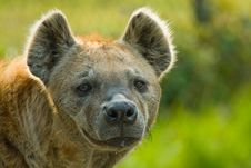 Free Spotted Hyena Stock Images - 4895764