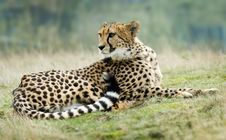Free Beautiful Cheetah Royalty Free Stock Photo - 4895765