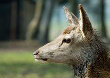 Free Beautiful Deer Royalty Free Stock Photos - 4895768