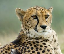 Free Beautiful Cheetah Stock Photography - 4895772