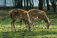 Free Beautiful Deer Royalty Free Stock Photo - 4895795