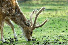 Free Beautiful Deer Royalty Free Stock Images - 4895849