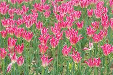 Free Spring Tulips Royalty Free Stock Photo - 4895995