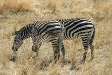 Free Zebra Stock Image - 4896331