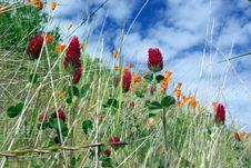 Red Clover And Orange Poppies Stock Photography