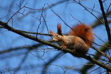 Free Red Squirrel Stock Images - 4896804