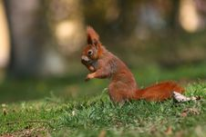 Free Calling Squirrel Stock Photo - 4896880