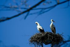 Free White Storks Royalty Free Stock Photos - 4897368