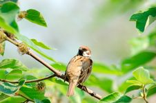 Free Sparrow Stock Images - 4897444