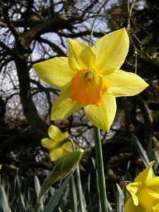 Free Daffodil Stock Image - 4897451
