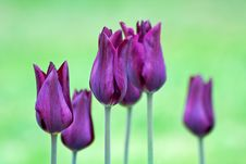 Free Violet Tulips Stock Photography - 4897482