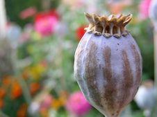 Free Poppy 01 Royalty Free Stock Photos - 4897988