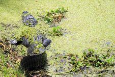 Free Alligator Stock Photo - 4898450
