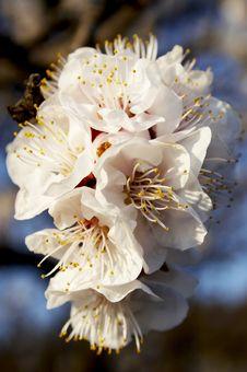 Free White Spring Blossom Stock Image - 4898591