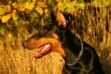 Free Portrait Of Doberman Royalty Free Stock Photos - 4899008