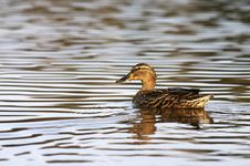 Free Female Mallard Duck Royalty Free Stock Photos - 4899068