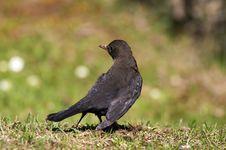 Free Blackbird Royalty Free Stock Photos - 4899168