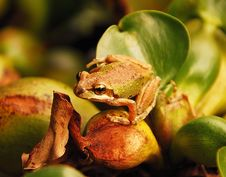 Tree Frog On Hyacinth Plant